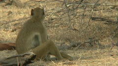 Female adult Savanna Baboons with infants. Niassa Reserve, Mozambique. - stock footage