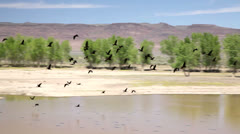 Ibis in flight over desert water hole, 988  Stock Footage