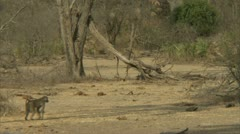 Savanna Baboons and mongoose walking in Niassa Reserve, Mozambique. Stock Footage
