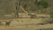 Stock Video Footage of Savanna Baboons and mongoose walking in Niassa Reserve, Mozambique.