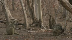 Adult Savanna Baboon eating meat. Niassa Reserve, Mozambique. - stock footage