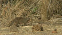 Mongoose watching the unseen. Niassa Reserve, Mozambique. Stock Footage