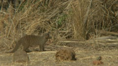 Mongoose observing its surroundings. Niassa Reserve, Mozambique. Stock Footage