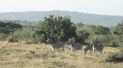 Four zebras in the veld Stock Footage