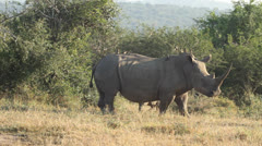 Ox peckers flying off the white rhino as it runs Stock Footage