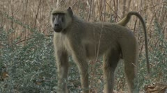 Adult male Savanna Baboon standing and staring. Niassa Reserve, Mozambique. Stock Footage