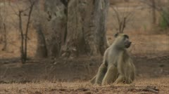Adult male Savanna Baboons sitting in Niassa Reserve, Mozambique. Stock Footage