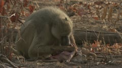 Adult Savanna Baboon eating meat. Niassa Reserve, Mozambique. Stock Footage