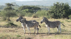Four agitated zebras in the veld Stock Footage