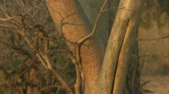 Infant Savanna Baboon running up tree. Niassa Reserve, Mozambique. Stock Footage