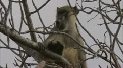 Adult Savanna Baboon in tree, calling. Niassa Reserve, Mozambique. - stock footage