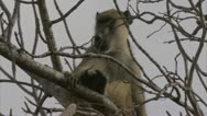 Stock Video Footage of Adult Savanna Baboon in tree, calling. Niassa Reserve, Mozambique.