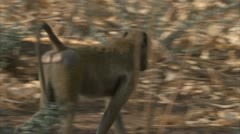 Savanna Baboons walking in Niassa Reserve, Mozambique. Stock Footage