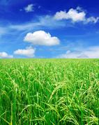 Rice field with blue sky Stock Illustration