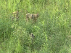 Savanna Baboon walking through grass. Niassa Reserve, Mozambique. Stock Footage