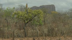 Adult Savanna Baboon sitting up in tree in Niassa Reserve, Mozambique. - stock footage