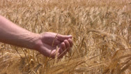 Stock Video Footage of Good crop of rye