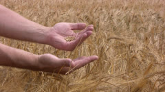 Men's hands and rye Stock Footage