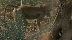 Savanna Baboon eating fruit. Niassa Reserve, Mozambique. Stock Footage