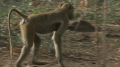 Female Savanna Baboon walking in Niassa Reserve, Mozambique. Stock Footage
