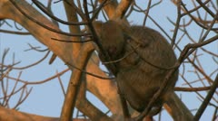 Adult and infant Savanna Baboons in tree in Niassa Reserve, Mozambique. Stock Footage