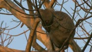 Stock Video Footage of Adult and infant Savanna Baboons in tree in Niassa Reserve, Mozambique.