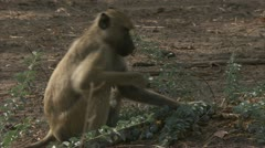 Female adult Savanna Baboon sitting and eating. Niassa Reserve, Mozambique. Stock Footage