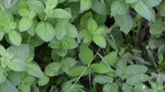Mint plant alternative medicine herbs wicker dish leaves Stock Footage