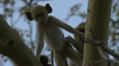 Savanna Baboons grooming in Niassa Reserve, Mozambique. Stock Footage