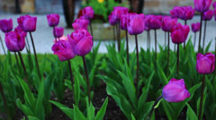Tulip under Old Canon Stock Footage