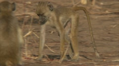 Infant Savanna Baboons foraging / eating. Niassa Reserve, Mozambique. Stock Footage