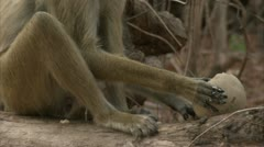 Savanna Baboon sitting and eating fruit. Niassa Reserve, Mozambique. Stock Footage