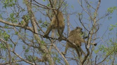 Savanna Baboons in tee, eating. Niassa Reserve, Mozambique. Stock Footage