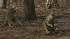 Adult Savanna Baboon eating meat in Niassa Reserve, Mozambique. Stock Footage