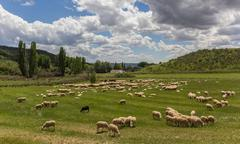herd of andalusian sheep - stock photo