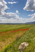 poppies in andalusia - stock photo