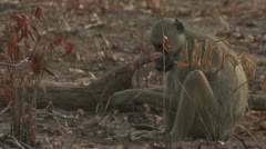Savanna Baboon sitting and eating. Niassa Reserve, Mozambique. Stock Footage