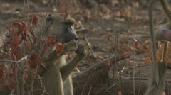 Adult Savanna Baboons sitting and eating in Niassa Reserve, Mozambique. Stock Footage