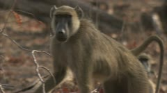 Adult Savanna Baboons in Niassa reserve, Mozambique. Stock Footage