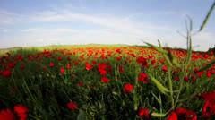 Red poppy flower field Stock Footage