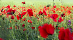 Red poppy flower field Stock Footage