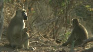 Stock Video Footage of Savanna Baboons sitting in Niassa Reserve, Mozambique.