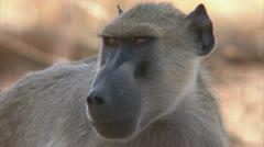 Adult Savanna Baboon in Niassa Reserve, Mozambique. Stock Footage