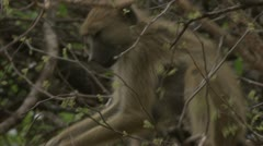 Savanna Baboon in tree, eating. Niassa Reserve, Mozambique. Stock Footage