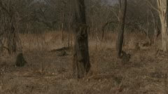 Savanna Baboon troop foraging in Niassa Reserve, Mozambique. Stock Footage