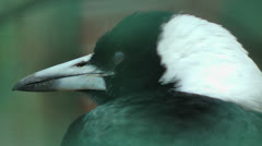 Gymnorhina tibicen, Australian Magpies,  also called Flute bird, close up, sound - stock footage
