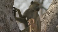 Stock Video Footage of Infant Savanna Baboon suckling on its mother. Niassa Reserve, Mozambique.