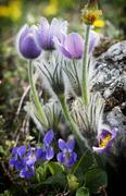 Pulsatilla slavica and viola odorata under a rock Stock Photos