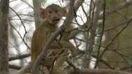 Stock Video Footage of Infant Savanna Baboon in tree, eating. Niassa Reserve, Mozambique.