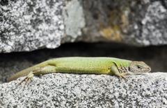 Lean european green lizard (lacerta viridis) Stock Photos
